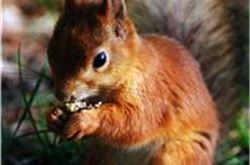 Incidence of red squirrels highlighted